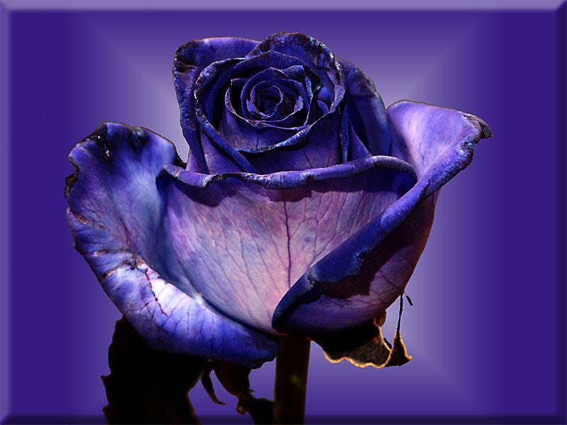 blaue rose foto bild verfremdung geschl x archiv digiart bilder auf fotocommunity. Black Bedroom Furniture Sets. Home Design Ideas