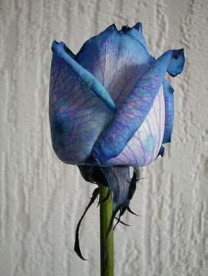 Blaue Rose die Zweite.