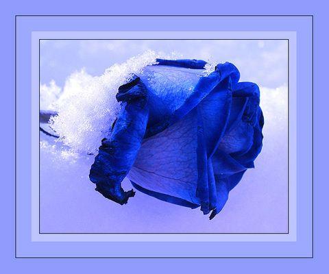 Blaue Rose im Schnee