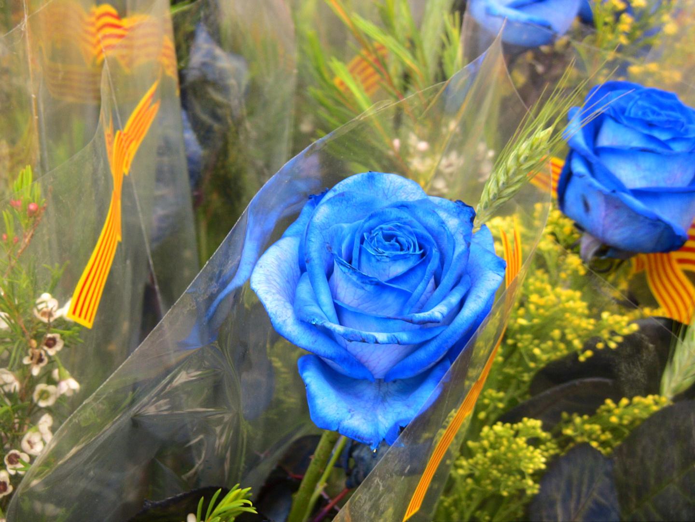 blaue Rose zum Sant Jordi Festival in Barcelona