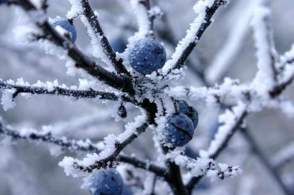 blaue Schlehen im Frost