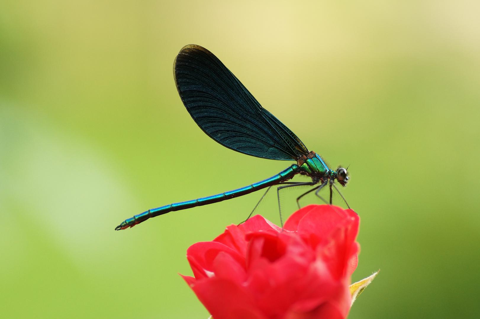 Blaue Schönheit II