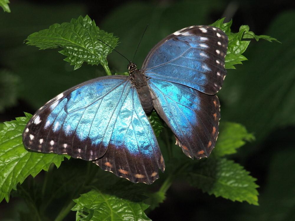 Blaue Schönheit (JJ)