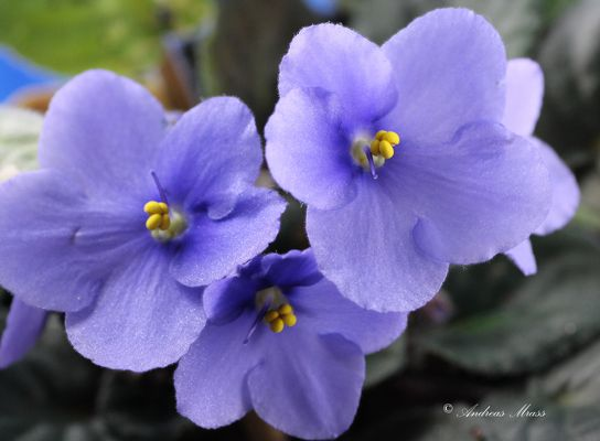 blaue Veilchen