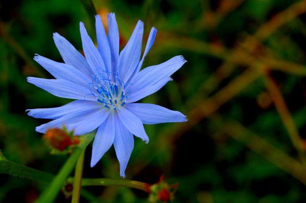 Blaue Wegblume
