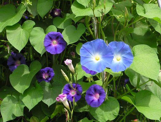 Blaue Wicke