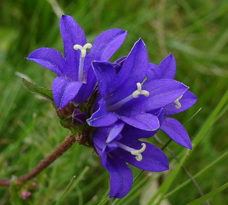 Blaue Wildblume