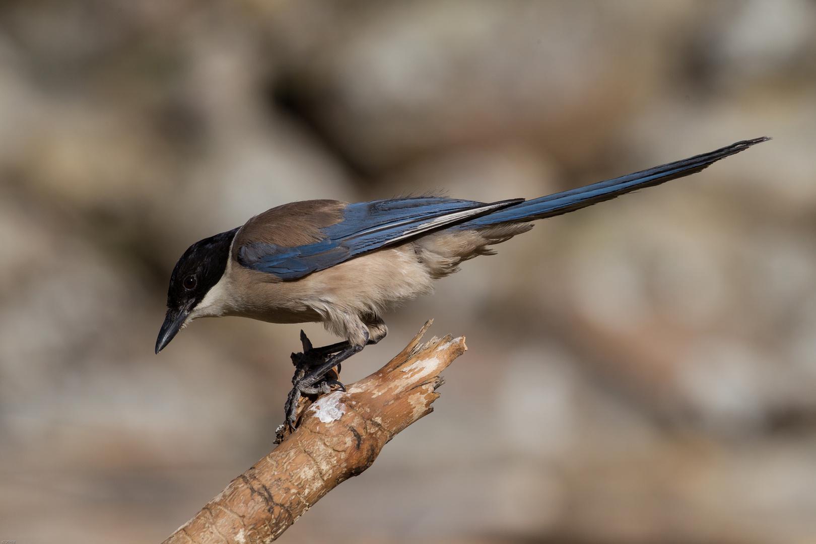Blauelster: Geselliger Vogel