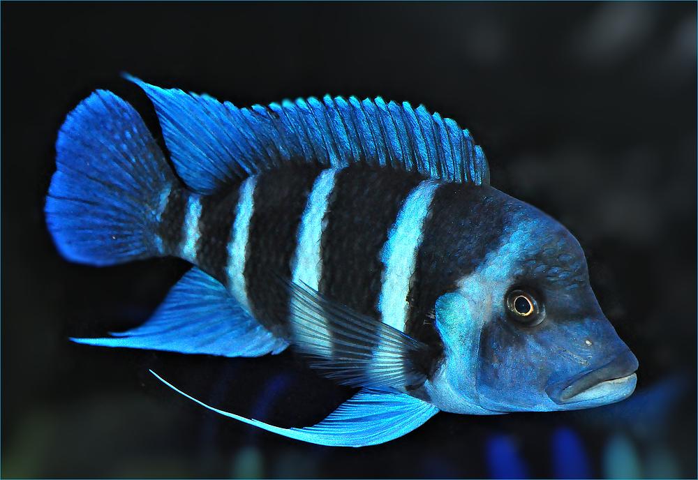 Blauer barsch foto bild tiere zoo wildpark for Fisch barsch