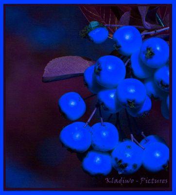 Blauer Beerenwuchs