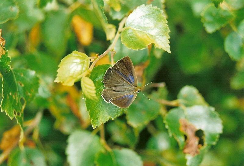 Blauer Eichen-Zipfelfalter weibchen