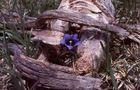blauer Enzian mit Holzrahmen