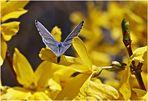 blauer Falter auf gelbe Blüte