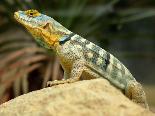 Blauer Felsenleguan (Petrosaurus thalassinus)