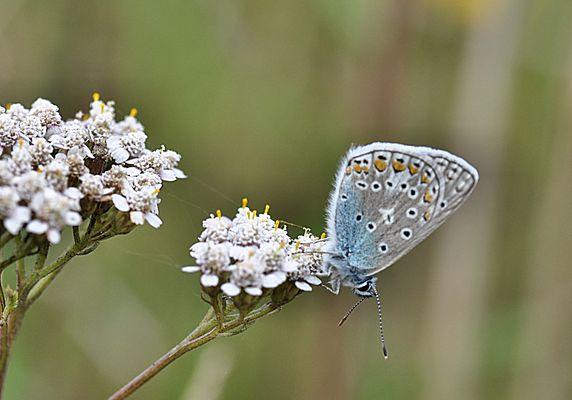 blauer FLATTERmann