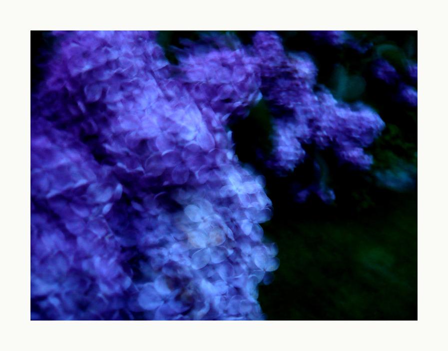 blauer flieder 2