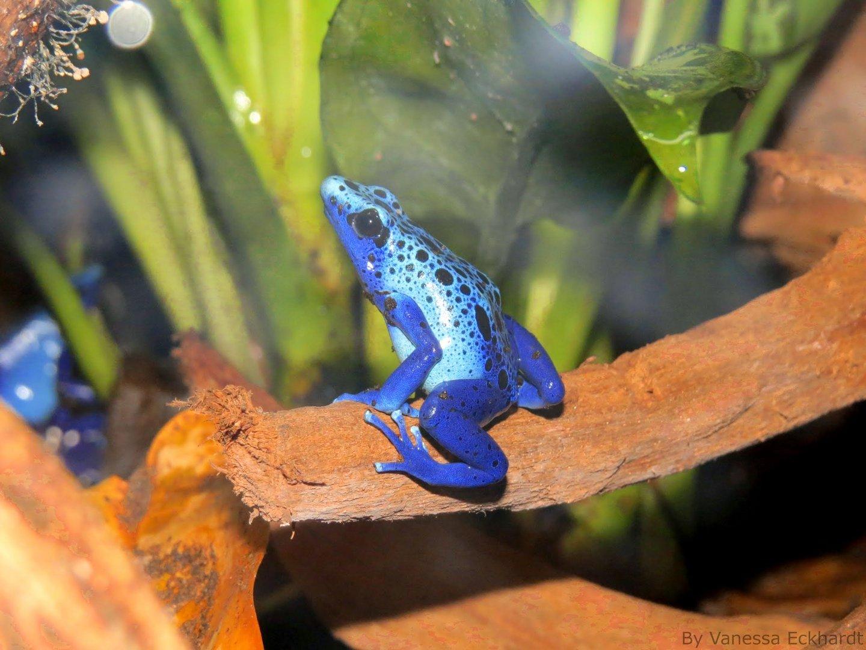 Blauer Frosch :-)