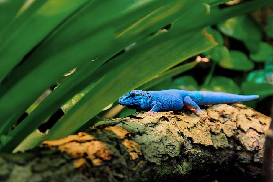 Blauer Gecko