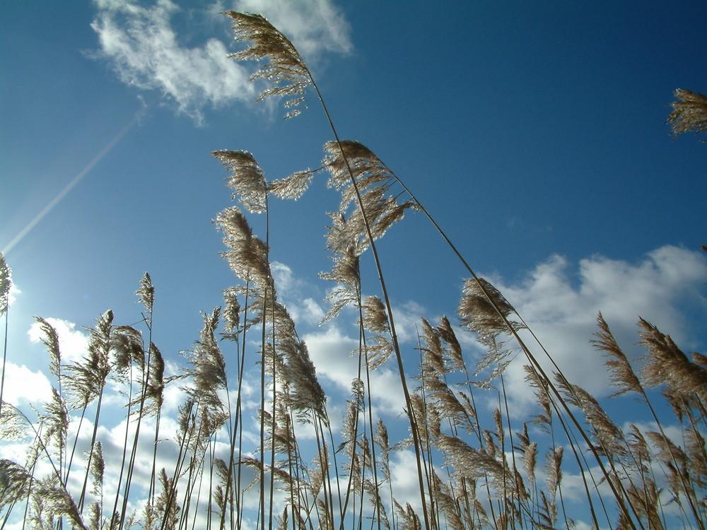 Blauer Himmel mit Schilf