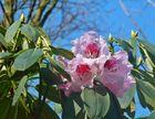 Blauer Himmel - rosa Blüten