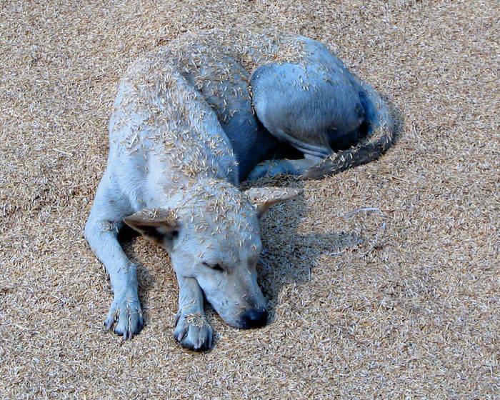 blauer hund im reis thailand foto bild tiere haustiere hunde bilder auf fotocommunity. Black Bedroom Furniture Sets. Home Design Ideas