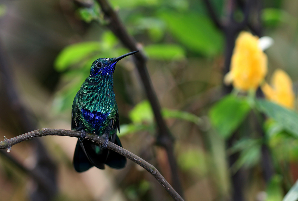 blauer Kolibri
