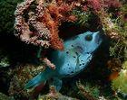 blauer Kugelfisch 2