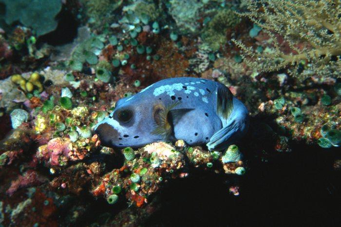 Blauer Kugelfisch