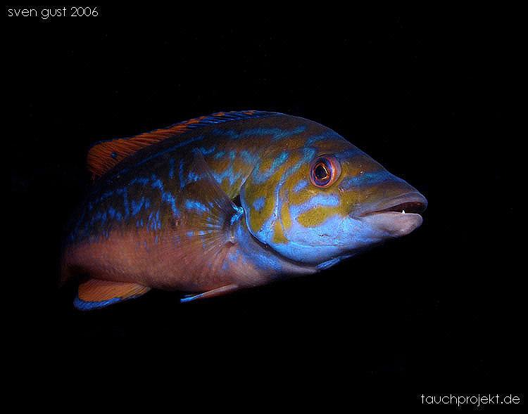 Blauer Lippfisch (Männchen)