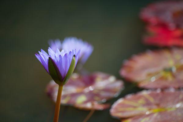 Blauer Lotus ...