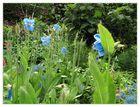 Blauer Mohn (Meconopsis - Scheinmohn)