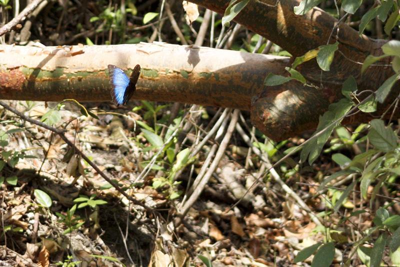 Blauer morpheus Schmetterling