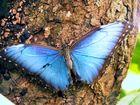 Blauer Morpho Falter