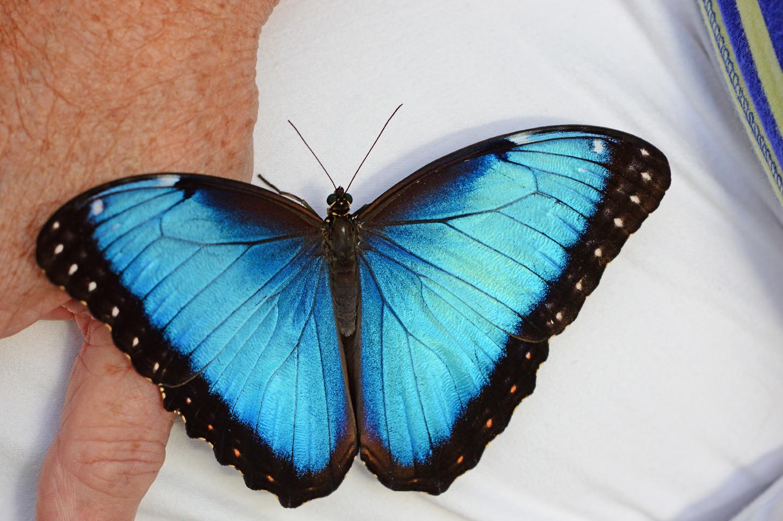 Blauer Morphofalter