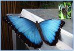 Blauer Morphofalter (Morpho peleides) HIMMELSFALTER