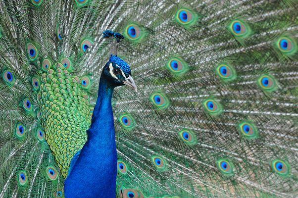 Blauer Pfau im Tiergarten Delitzsch