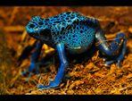 Blauer Pfeilfrosch