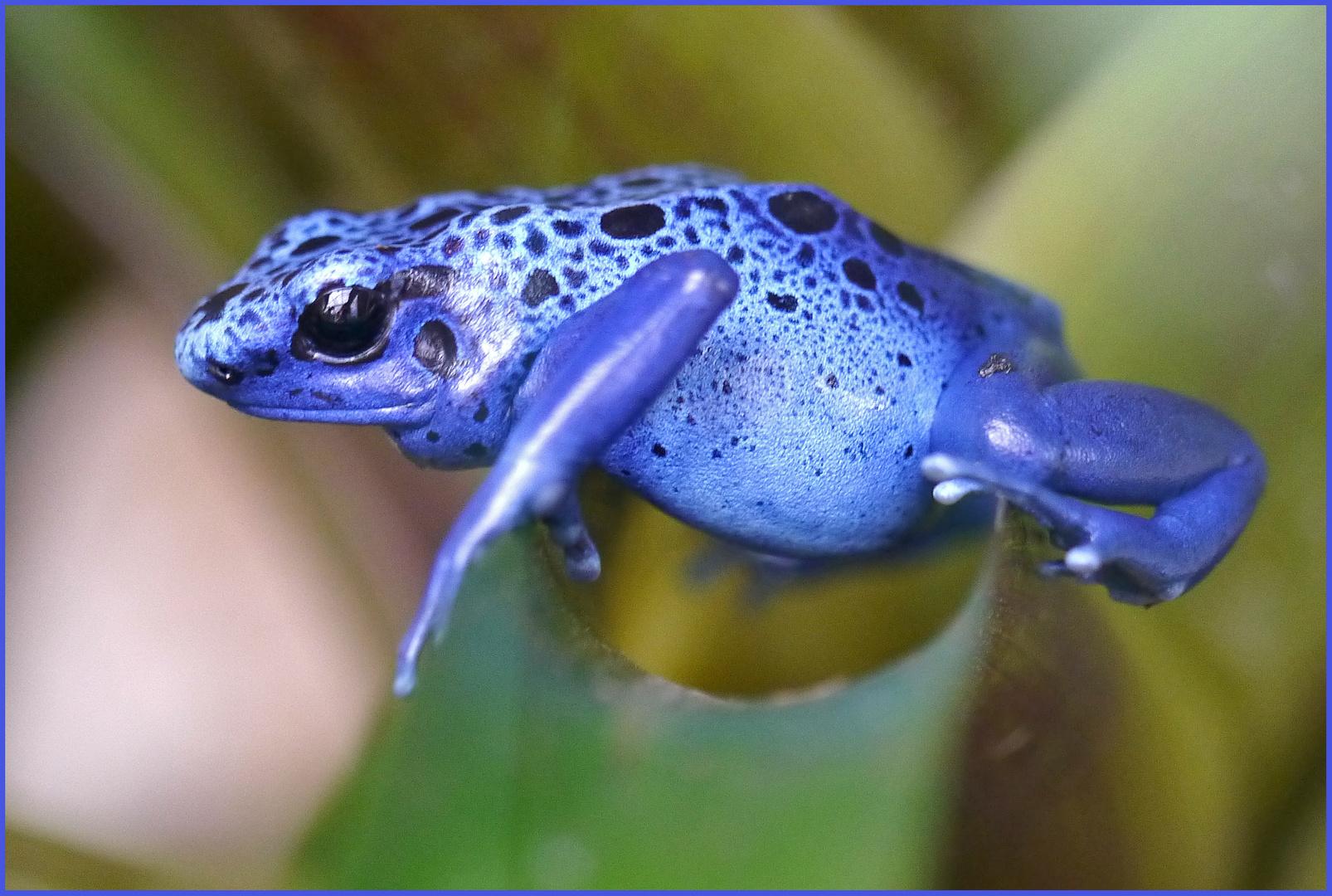 Blauer Prinz