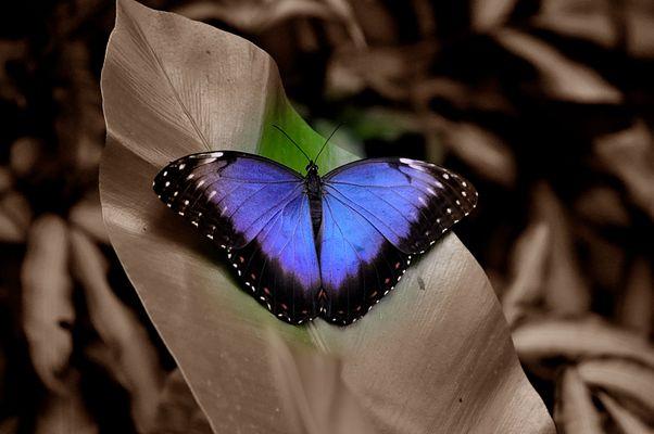 blauer Schmetterling?