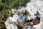Blauer Schmetterling auf dem Campo Imperatore, Abruzzen