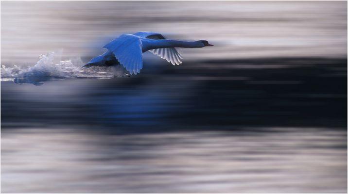 Blauer Schwan im Tiefflug