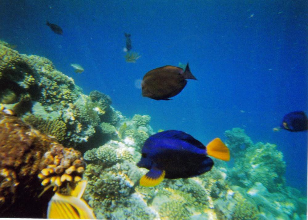 blauer segelflosser und kaiserfische (?!)