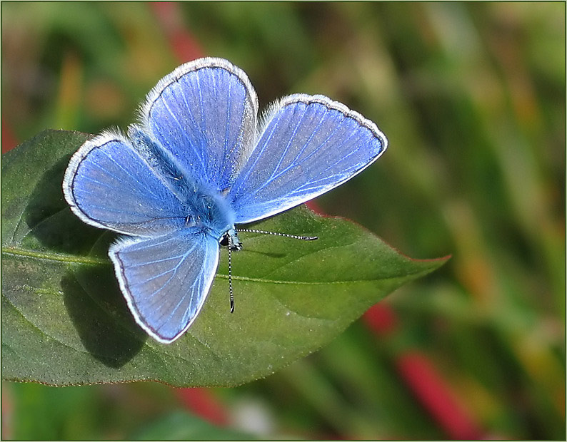 blauer Sommervogel