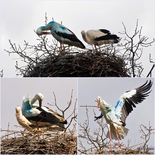 Blauer Storch mit Partnerin entdeckt