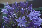 blauer Traum Agapanthus