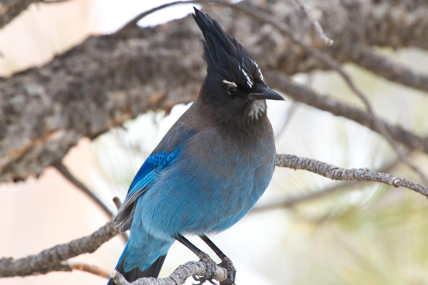 Blauer Vogel 4