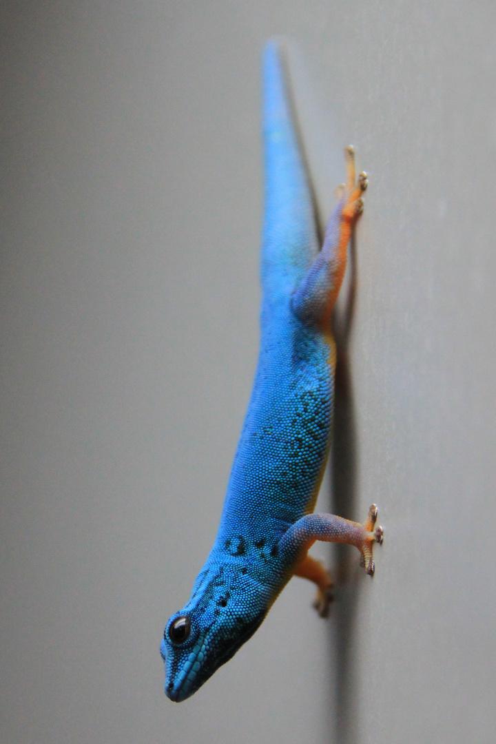 *blauer Zwerggecko