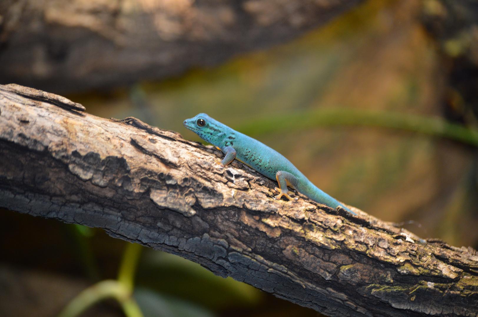 Blauer Zwerggecko - Lygodactylus williamsi