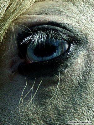 Blaues Auge einer Tinker-Stute