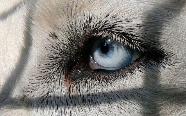 Blaues Auge in weißem Hund.... oder so.